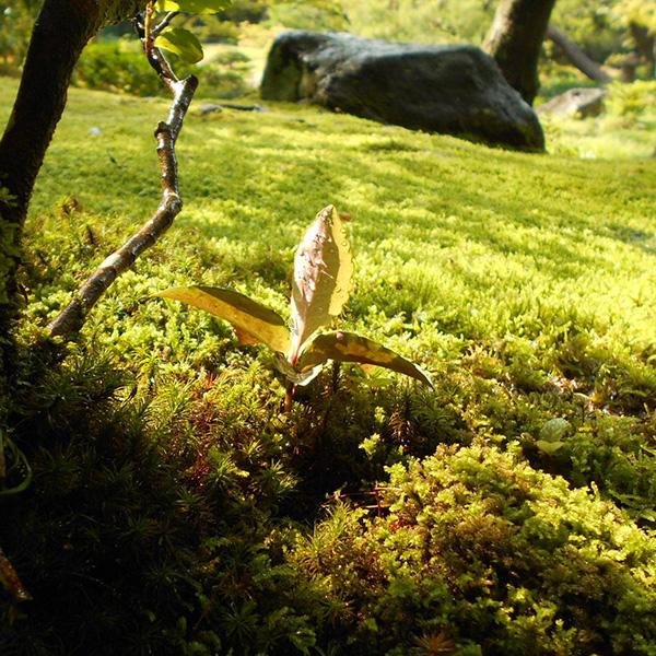 水撒き後の苔