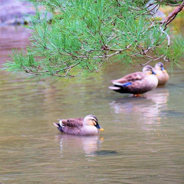 spotbilled duck04