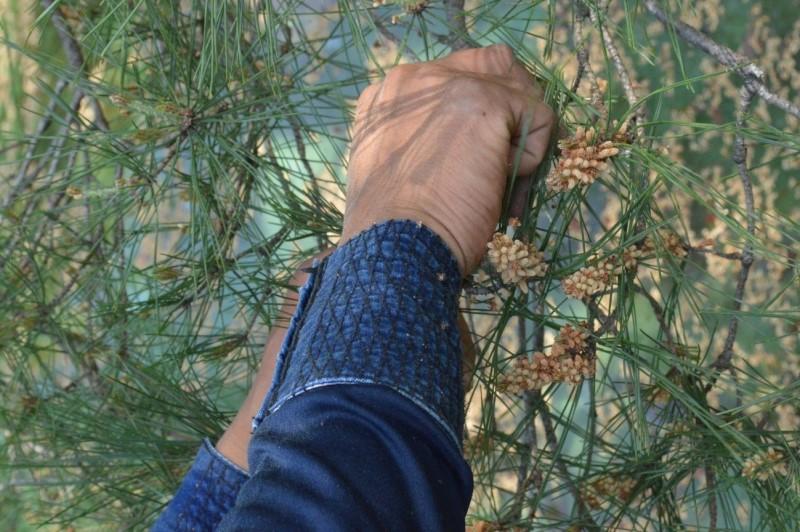 アカマツ芽摘み