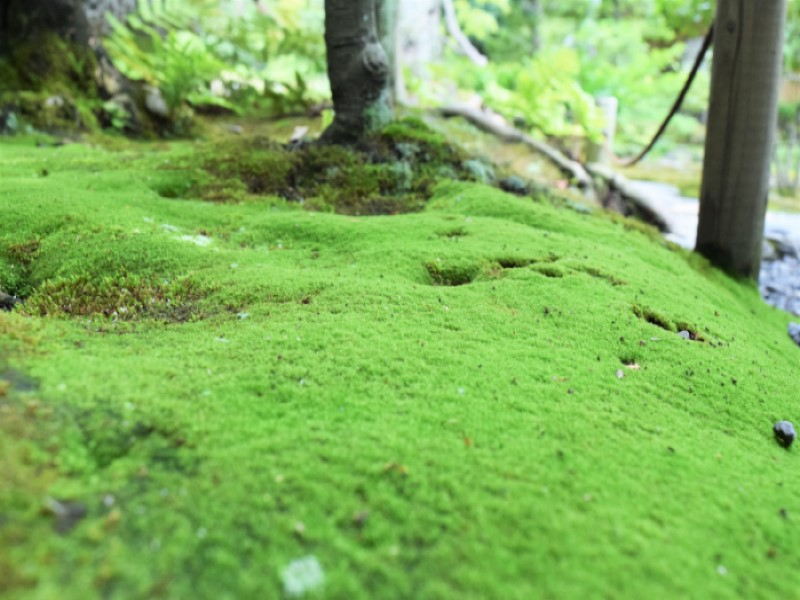 (Tongue-leaf copper moss: Honmonjigoke)