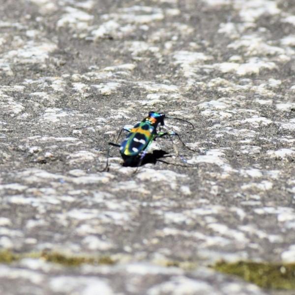 昆虫 ハンミョウ
