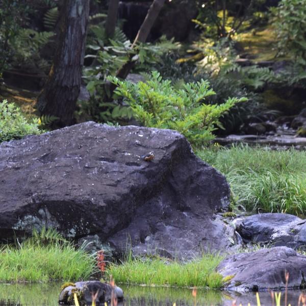 野鳥カワセミ