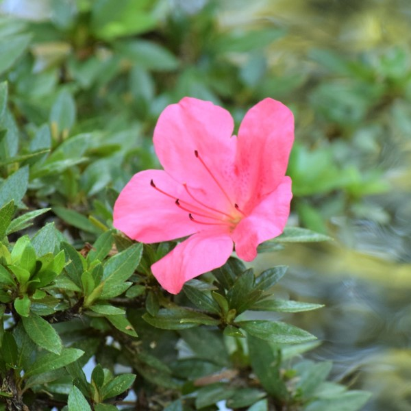 野花 サツキ狂い咲