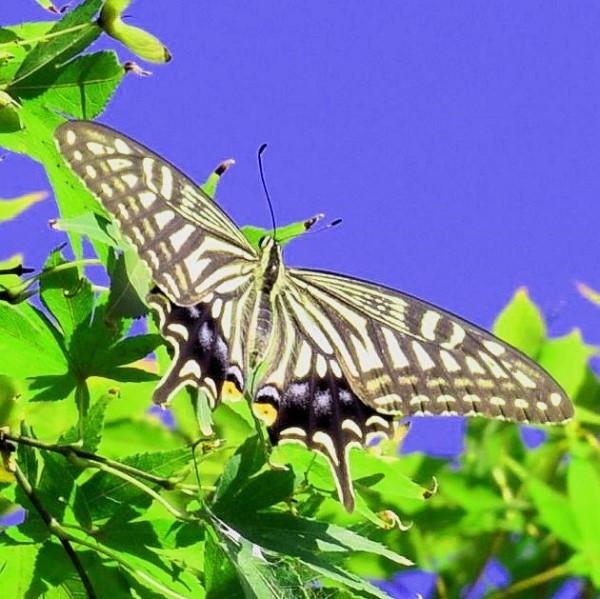 昆虫 アゲハ