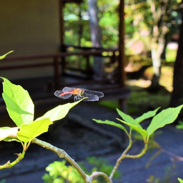 昆虫 ナツアカネ