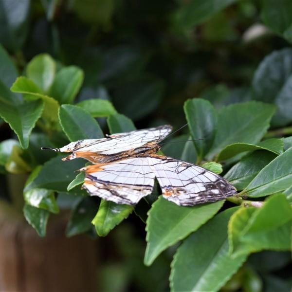 昆虫イシガケチョウ