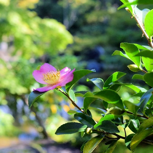 野花サザンカ