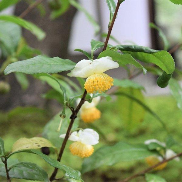 野花チャノキ
