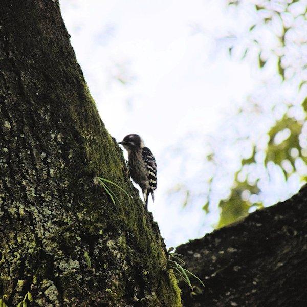 野鳥コゲラ