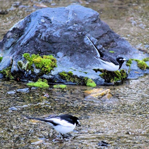 野鳥セグロセキレイ