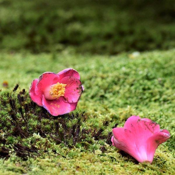 野花ツバキ