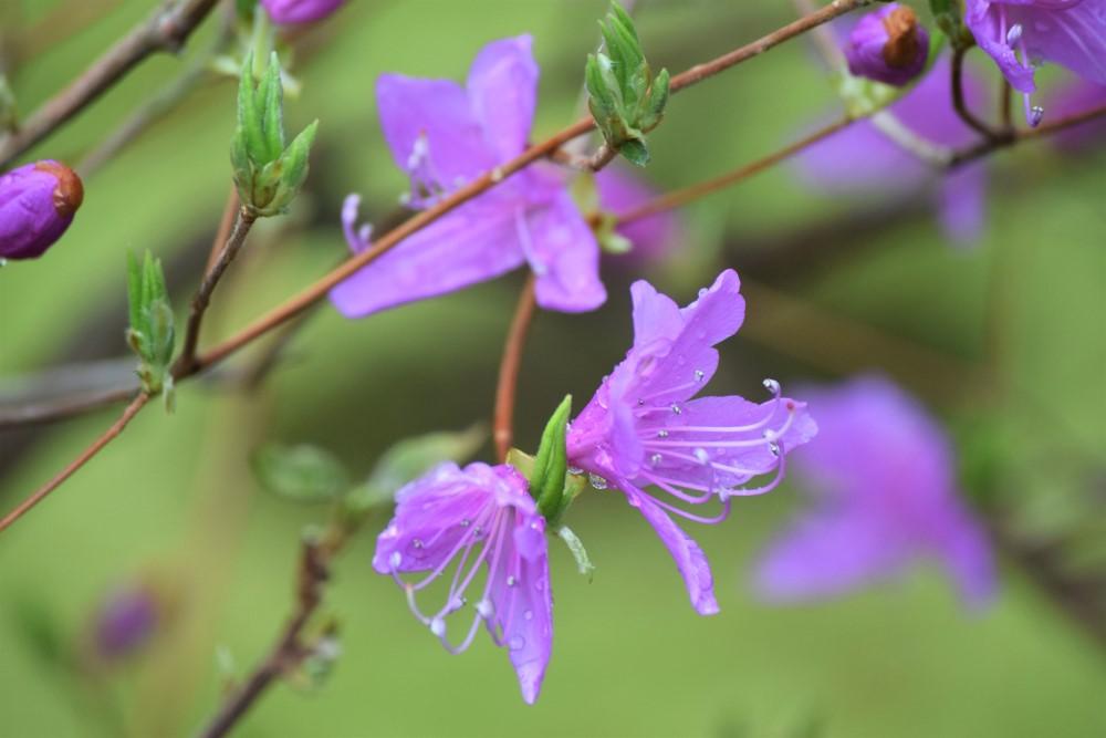 野花ミツバツツジ