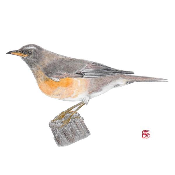 野鳥アカハラ