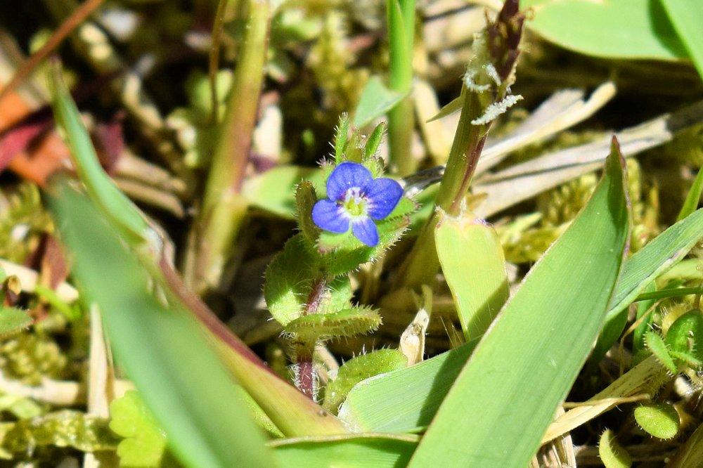 野花タチイヌノフグリ