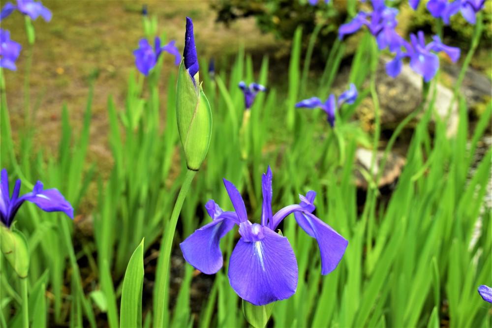 野花カキツバタ
