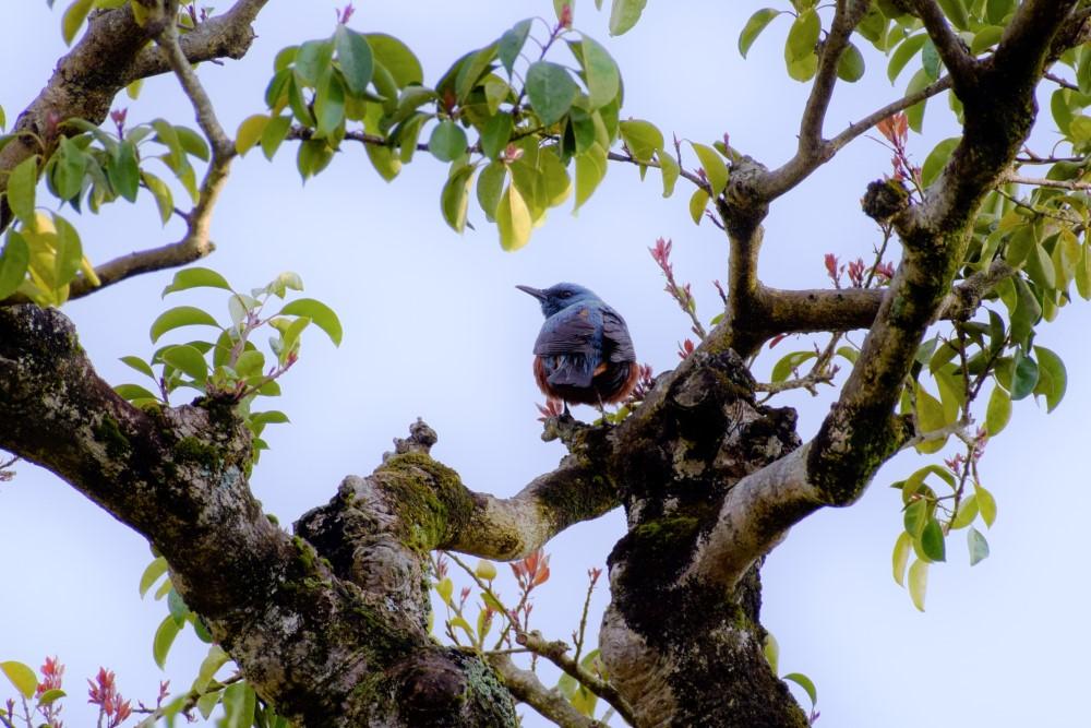 野鳥イソヒヨドリ