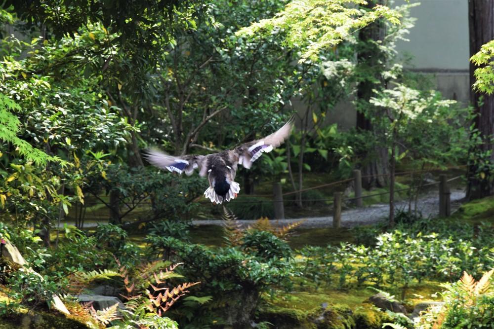 野鳥マガモ