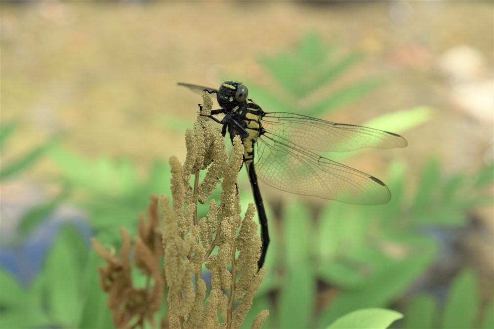 昆虫ミヤマサナエ