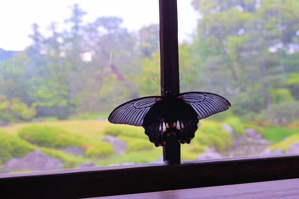 昆虫ナガサキアゲハ