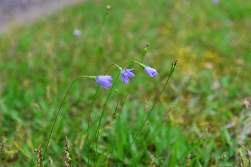 野花ヒナギキョウ