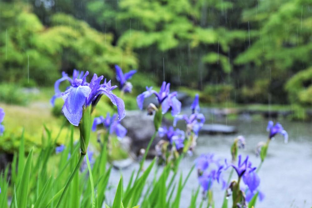 庭 雨カキツバタ