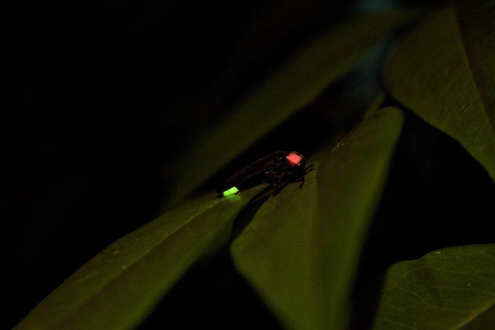 昆虫ゲンジボタル