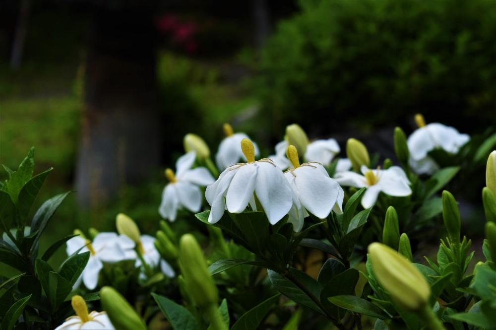 野花クチナシ