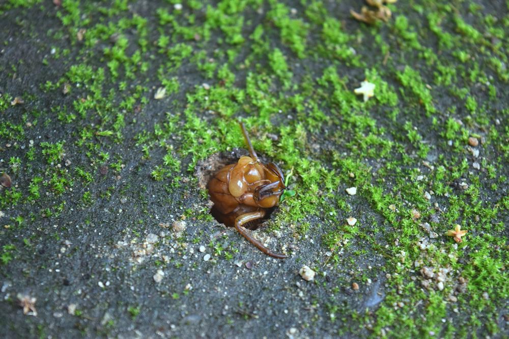 野花アブラゼミ幼虫