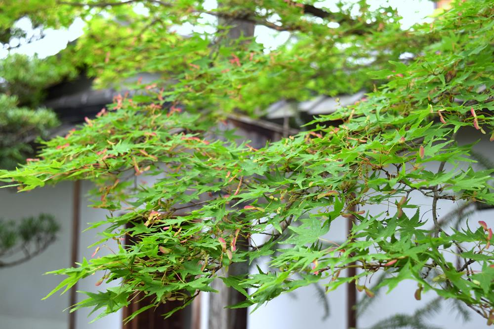 野花イロハモミジ