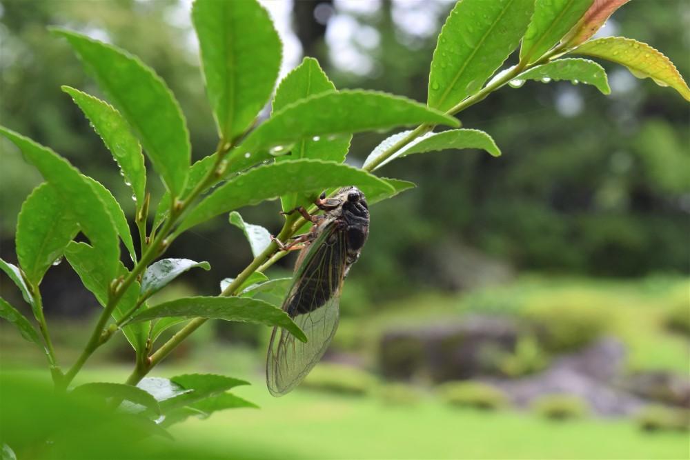 昆虫クマゼミ