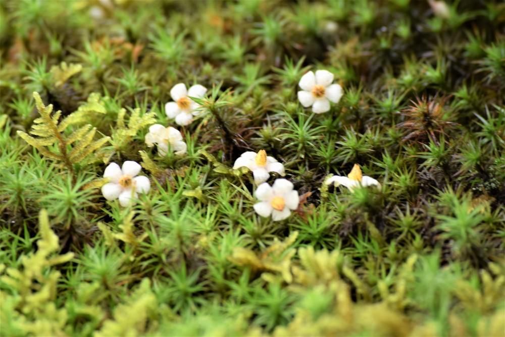 野花マンリョウ花
