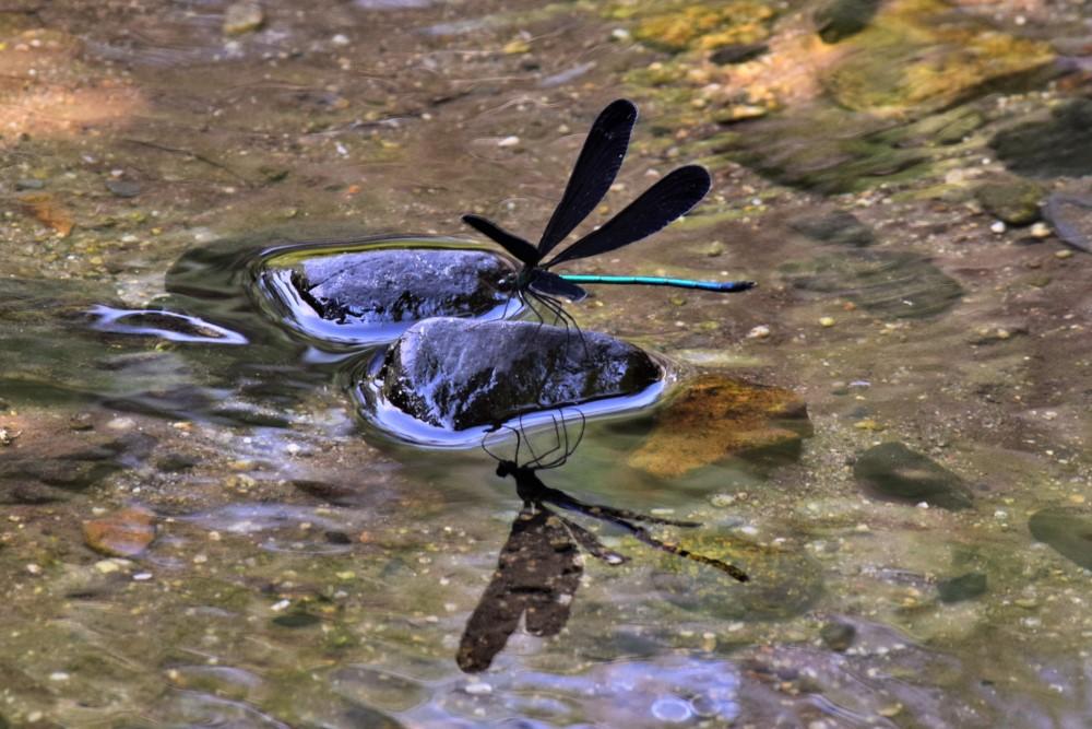 昆虫 ハグロトンボ