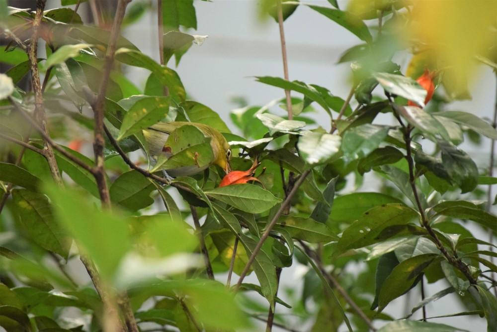 野鳥 メジロ