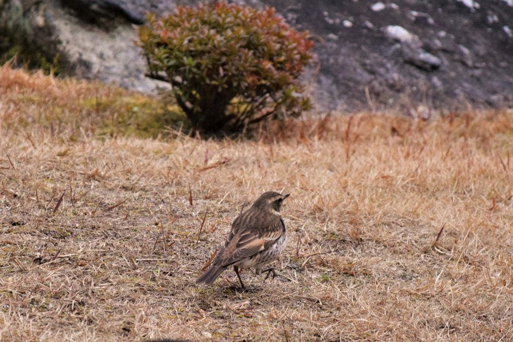 野鳥ツグミ