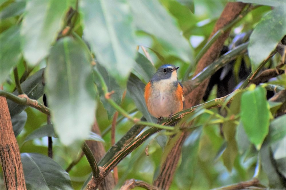 野鳥 ルリビタキ