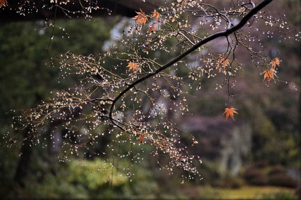 もみじ 雨庭 冬